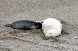 Cucciolo di elefante marino allattato dalla madre.