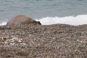 Maschio di elefante marino che si riposa sulla spiaggia