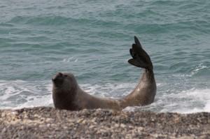 Maschio di elefante marino che esce dall'acqua