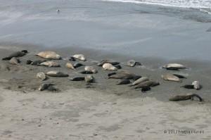 Una colonia di elefanti marini