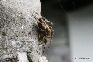 Ragno Crociato in allerta, visto lateralmente