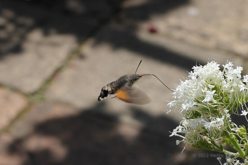 Farfalla-Colibrì
