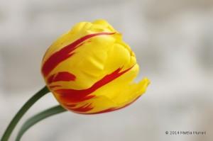 Tulipano giallo rosso