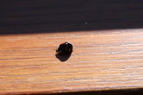 Coccinella bipunctata nera
