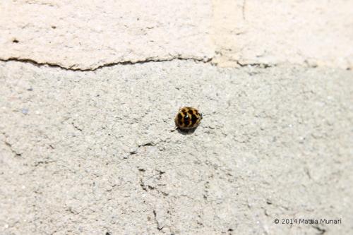 Coccinella octadecem punctata gialla