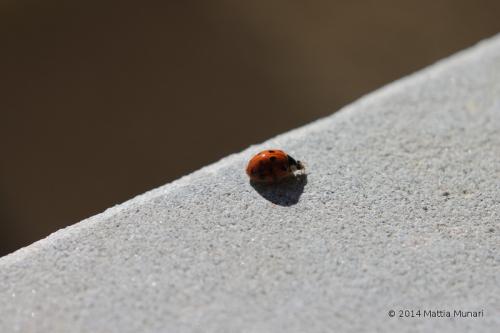 Coccinella sedecim punctata