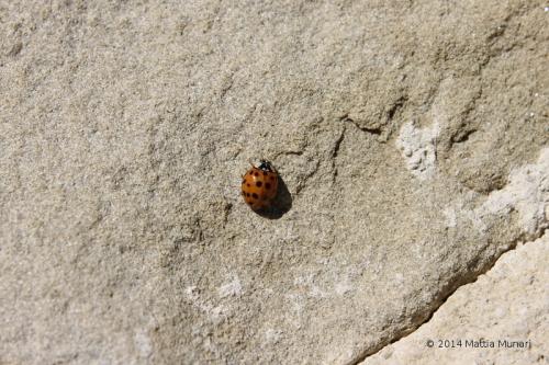 Coccinella Undeviginti Punctata